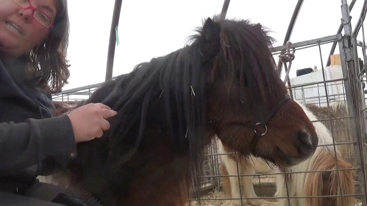 Miniature Horse Grooming - Wind Knots