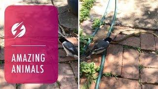 Tiny Bird Attacks Giant Snake In Australian Outback