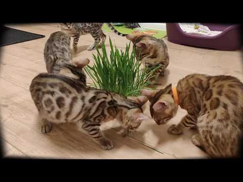 Bengal kittens 13 weeks old,  awesome Brown Rosette