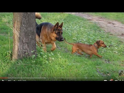 смотреть видео про немецких овчарок