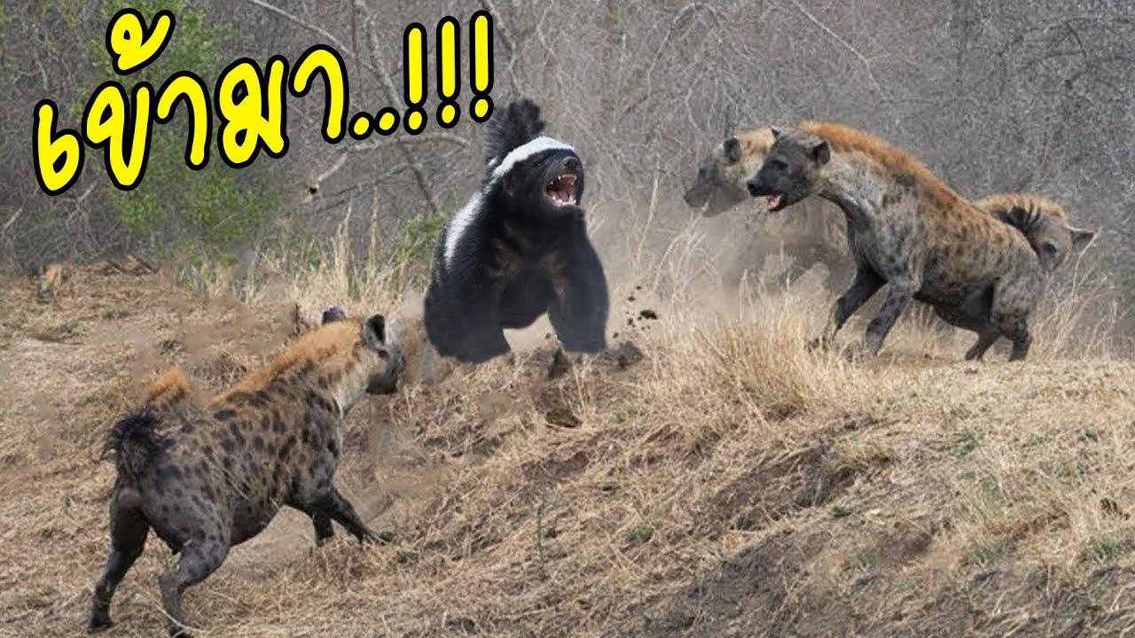 สัตว์..8..ชนิด..ที่เอาชนะไฮยีน่าได้อย่างง่ายดาย#ตามไปมอง