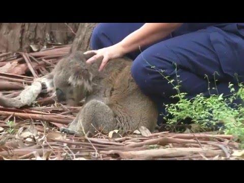 Hier wird ein Koalabär vor dem Tod gerettet! #Australien #australia #Tiervideo
