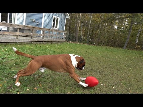 Eggball Is Great Fun For Boxer Dogs!