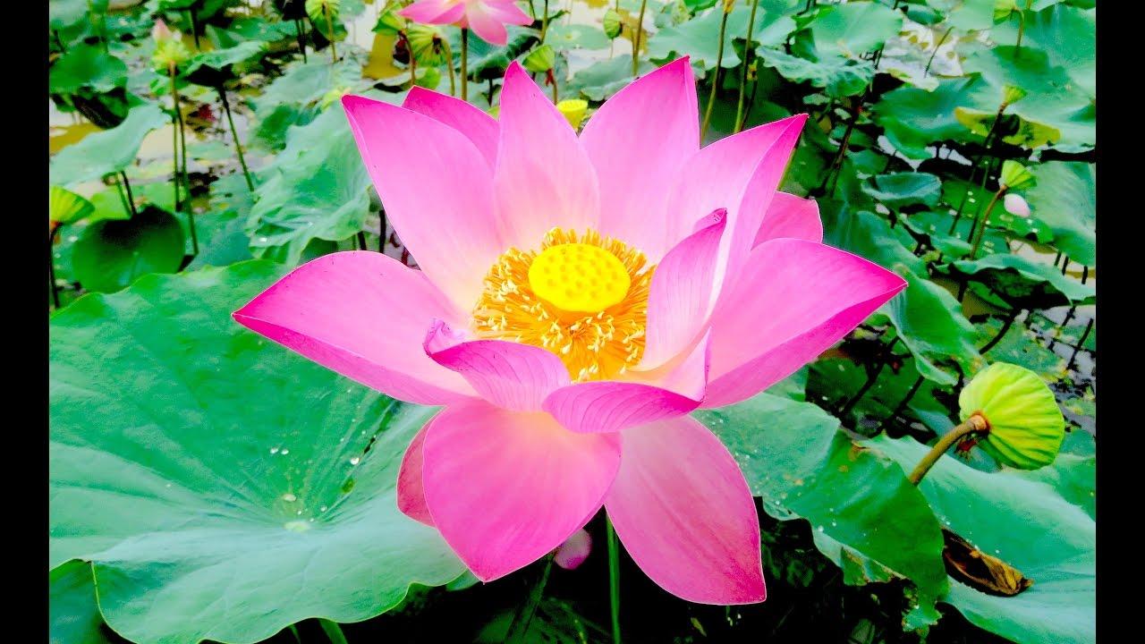 Lotus pond at prey veng province beautiful lotus flower cambodia lotus pond at prey veng province beautiful lotus flower cambodia youtube izmirmasajfo