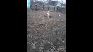 видео Арктур - гончий пёс