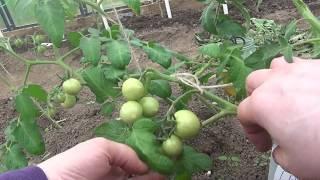 Легкий способ подвязки кистей помидор и формировка томатов пострадавших от заморозков