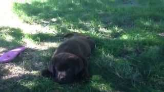 Chocolate Lab Pup Too Tired For Kisses. Pacheco Kennels, Raynham Ma