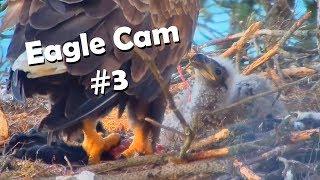 Eagle Cam #3 - Baron Blue - White Tailed Eagles Nest Live