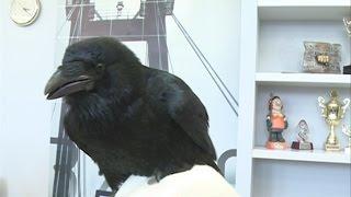 Домашний ворон, которого потеряла семья красноярцев, нашелся