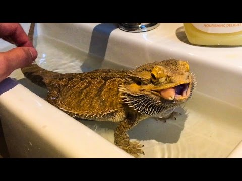 BATH TIME for STEEVEN the LEGENDARY LIZARD!