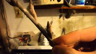 Eastern Black Swallowtail Winter Update