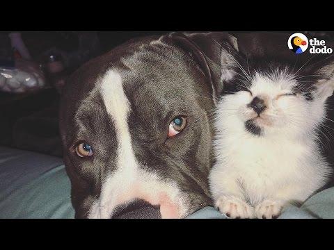 Service Pit Bull Cares for Kitten, Rest Of His Family | The Dodo