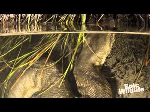 Trăn khổng lồ chết thảm - www.SimDepDongNai.com - bán sim số đẹp.flv