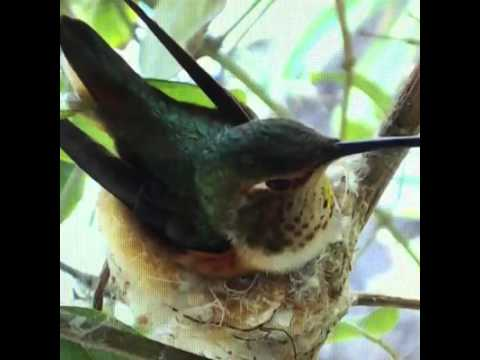 Welcome to the nest, Goldie! The hummingbird chick hatched early this morning  Watch as mom Bella fe