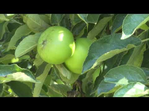 Amalgerol® Essence fagy megelőzésére bio almában, Kukucska György