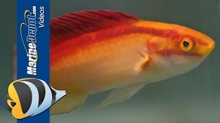 How to Care for a Flame Wrasse in Your Saltwater Aquarium