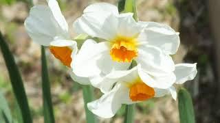 ヒガンバナ科スイセン属(Narcissus_tazetta)にはニホンズイセンやラッ...