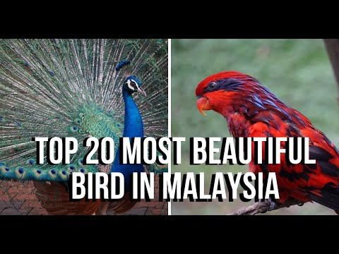TOP 20 Most Beautiful Bird In Malaysia