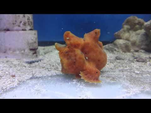 Orange Angler Fish