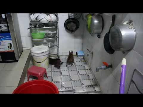 Chó PHÓC HƯƠU nhà em săn chuột và cái kết..cực gắt !