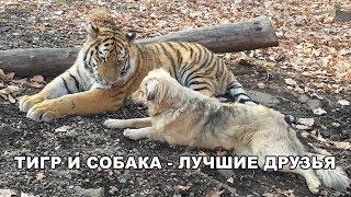ТИГР И СОБАКА - ЛУЧШИЕ ДРУЗЬЯ