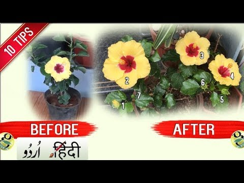 How To Get More Flowers In Hibiscus Plant 10 Tips Bloom Boost