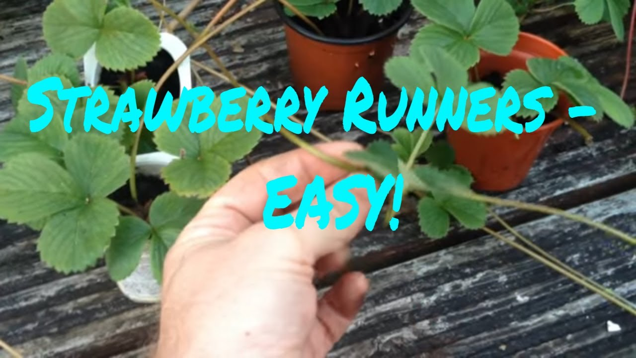 how to cut and plant strawberry runners