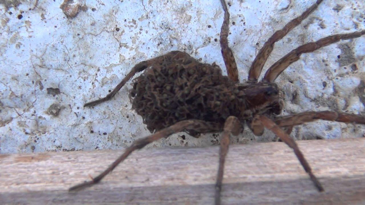 araign e loup elle porte ses petits sur son dos