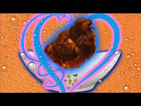 Голубь купается. Домашний голубь принимает ванну. domestic pigeons taking a bath.