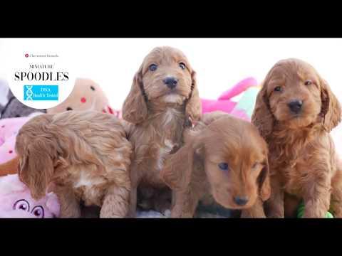 Miniature Spoodle pups #ChevromistKennels
