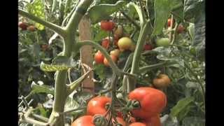 Gambar cover Novas cultivares de tomate