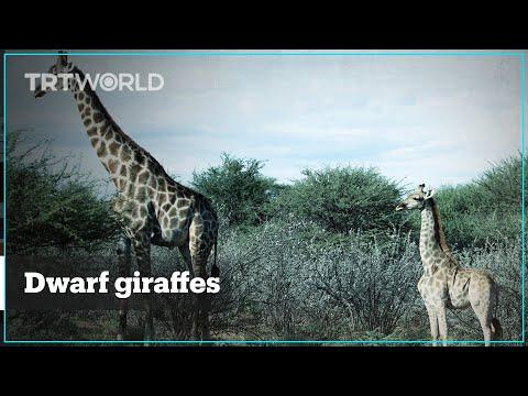 Dwarf giraffes spotted in Africa