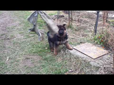 Atlas - German Shepherd Dog Puppy for sale