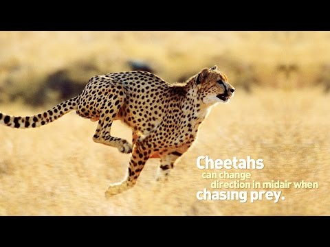HUNTING CHEETAH  | WILD NATURE | AFRICAN CATS