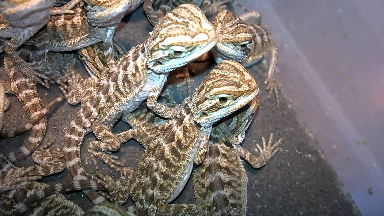 Bearded Dragons For Sale - YouTube