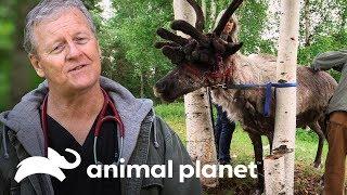 ¡Reno con crecimiento de astas necesita ayuda! | Dra. Dee: Veterinaria de Alaska | Animal Planet