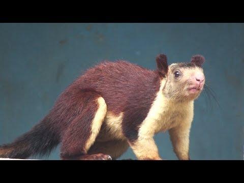 INDIAN GIANT SQUIRREL : RATUFA INDICA - YouTube