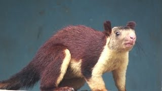 INDIAN GIANT SQUIRREL : RATUFA INDICA