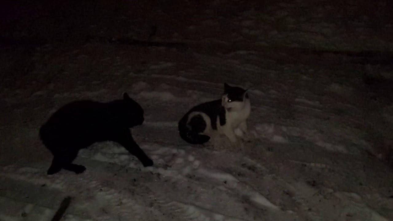 Драка котов. Эпическая битва!
