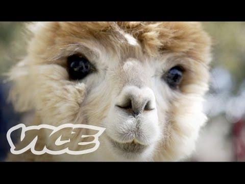 Cute Alpacas!   The Cute Show
