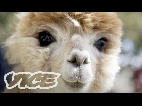 Cute Alpacas! | The Cute Show