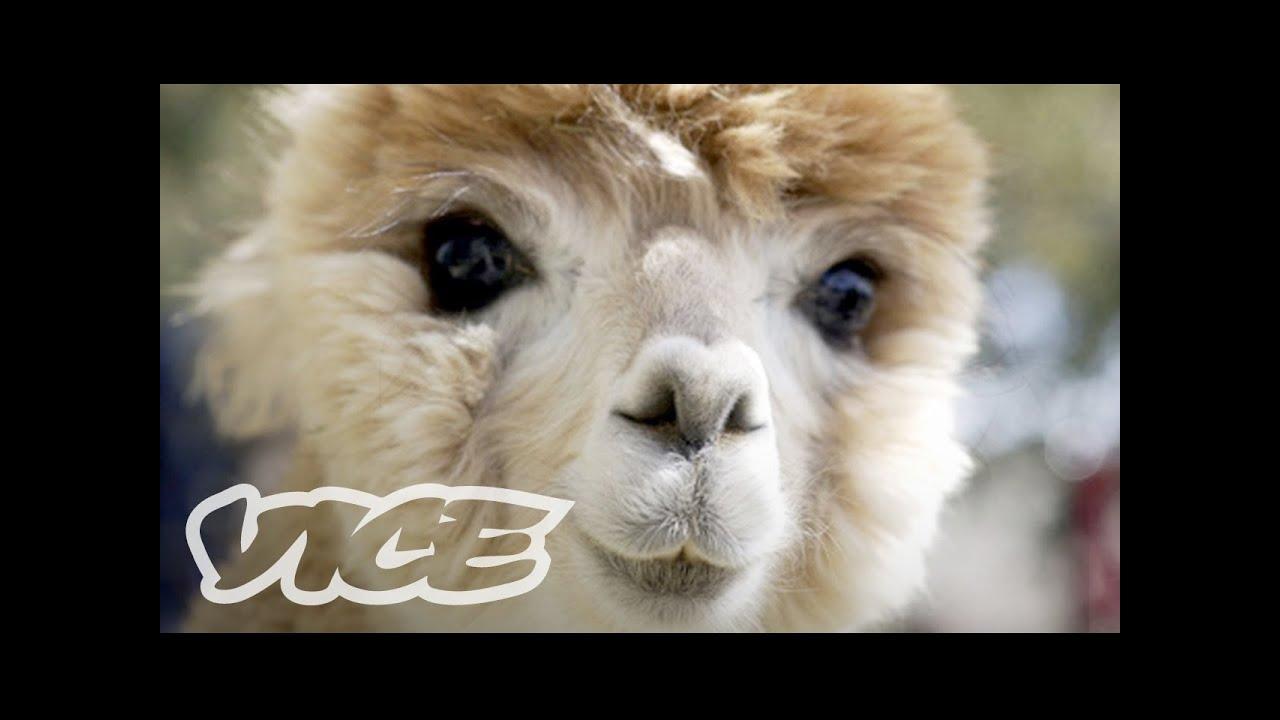 Cute Alpacas! | The Cute Show