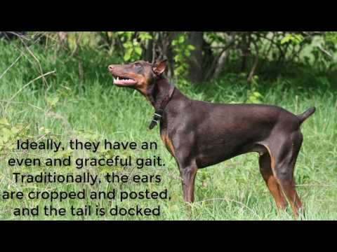 Doberman Pinscher Dog facts