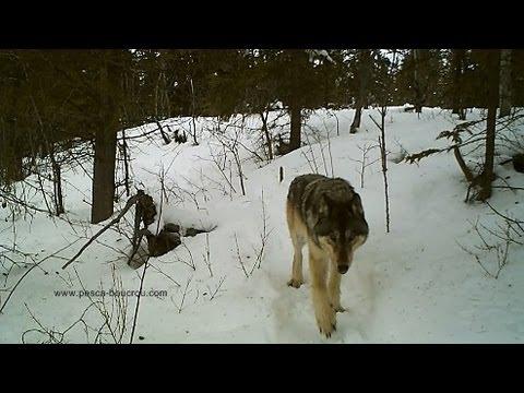 Wild Yukon Timber Wolf Caught On Tape Youtube