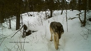 Wild Yukon timber wolf caught on tape
