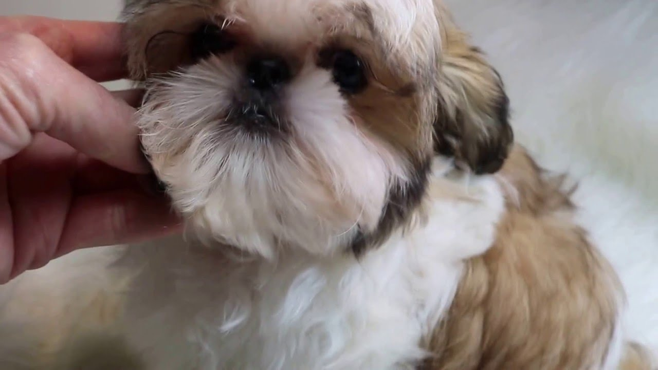 Imperial Shih Tzu Puppies For Sale Shih Tzu Puppies Youtube