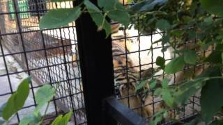 Голодные тигры хотят съесть человека! Крым