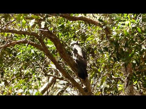 Tropical Treks: Pacific Baza, Yellow Belly Hole, Cooran, Qld., Australia