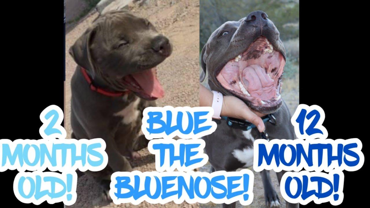 1 year old Bluenose Pitbull timeline!