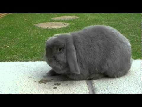 lop eared rabbits - Jack and Mia Tang